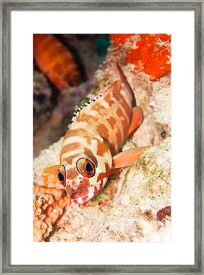 The Hawkfish Framed Print by MotHaiBaPhoto Prints