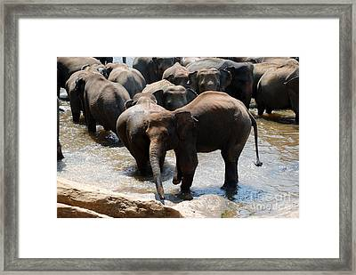 Framed Print featuring the photograph The Hurt Elephant by Pravine Chester