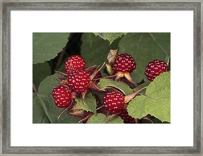 The Invasive Wine Berry And Shield Bugs Framed Print