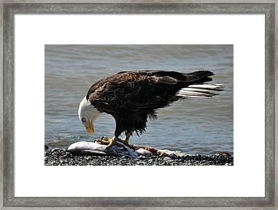 The Largest Bird Of Prey  Framed Print by Debra  Miller