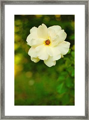 The Last Rose Framed Print by Robin Morse