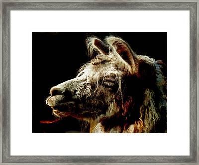 The Legendary Llama  Framed Print by Steve Taylor