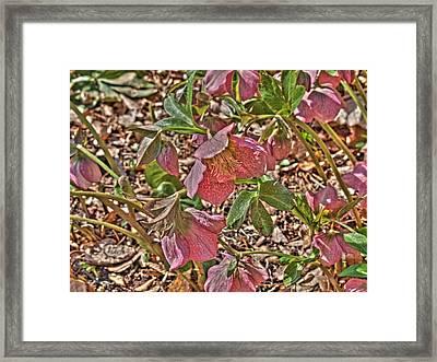 The Lenten Rose Framed Print by Joshua House