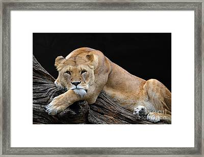 The Lioness Is Watching You Framed Print by Eva Kaufman
