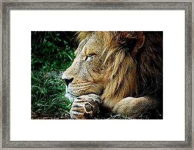 The Lions Sleeps Framed Print