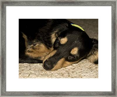 The Little Dachshund Framed Print by Tasha Tuckwell