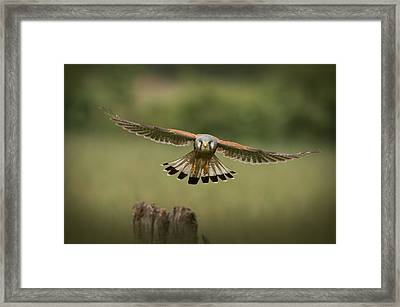 The Male Of The Species Framed Print by Andy Astbury