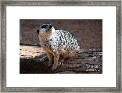 The Meercat  Framed Print by Rob Hawkins