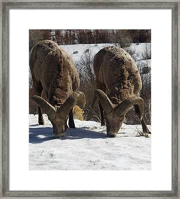 The Mountain Sheep Framed Print