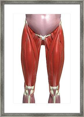 The Muscles Of The Lower Limb Framed Print by MedicalRF.com