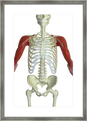 The Muscles Of The Shoulder And Upper Arm Framed Print by MedicalRF.com