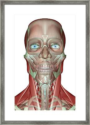 The Musculoskeleton Of The Head, Neck And Face Framed Print by MedicalRF.com