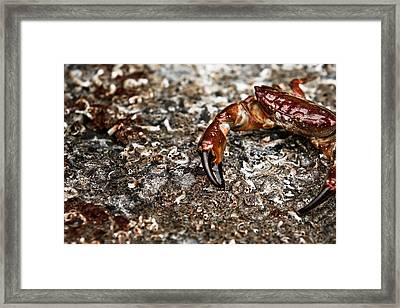 The Old Crab Framed Print