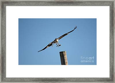The Osprey's First Catch Collection Image I Framed Print by Scenesational Photos