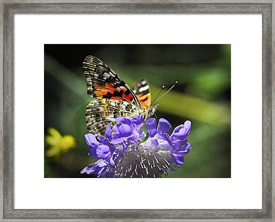 The Painted Lady Butterfly  Framed Print by Saija  Lehtonen