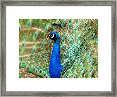 The Peacock Framed Print by Paul Ge