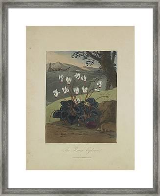 The Persian Cyclamen Framed Print by Robert John Thornton