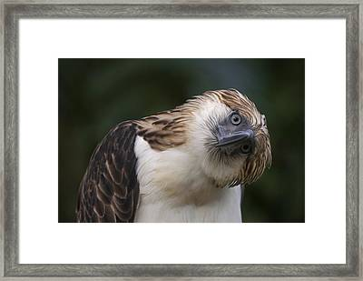 The Philippine Eagle Twists Its Head Framed Print