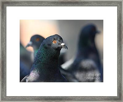 The Pigeon . 40d10018 Framed Print by Wingsdomain Art and Photography