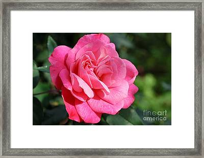 Framed Print featuring the photograph The Pink Rose by Fotosas Photography