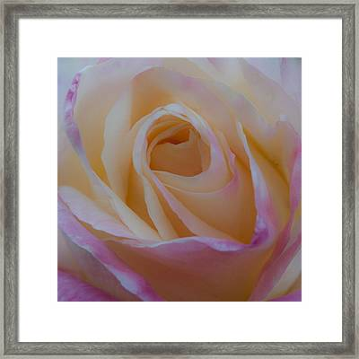 The Princess Diana Rose Framed Print by David Patterson