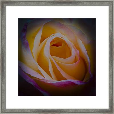 The Princess Diana Rose II Framed Print by David Patterson