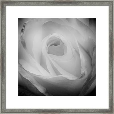 The Princess Diana Rose IIi Framed Print by David Patterson