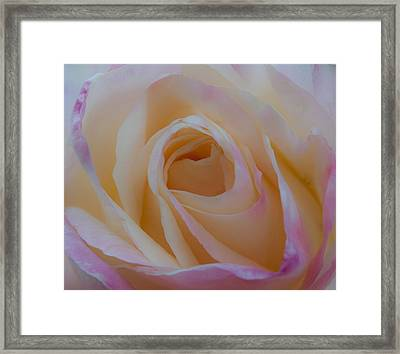 The Princess Diana Rose Iv Framed Print by David Patterson