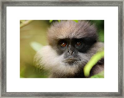 The Purple-faced Langur. Nuwara Eliya.sri Lanka Framed Print by Jenny Rainbow