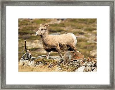 The Queen Framed Print by Adam Jewell