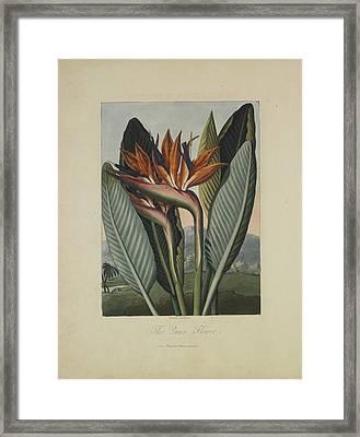 The Queen Flower Framed Print by Robert John Thornton