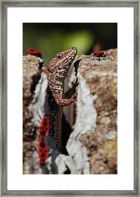 Framed Print featuring the photograph the random Lizard  by Stwayne Keubrick