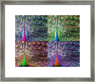 The Real Peacock Please Stand Up Framed Print by Diana Shively