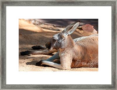 The Resting Roo Framed Print by Rob Hawkins