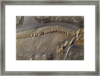 The Ribs And Spine Of Ichthyosaur Framed Print by Jason Edwards