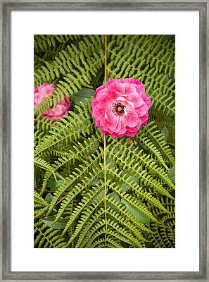 The Rose And The Fern Framed Print