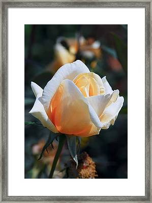 Framed Print featuring the photograph The Rose by Fotosas Photography