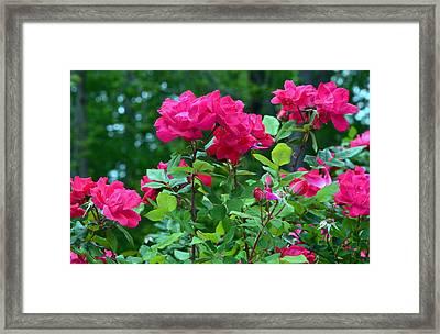 The Rose Garden Framed Print by Tanya Tanski