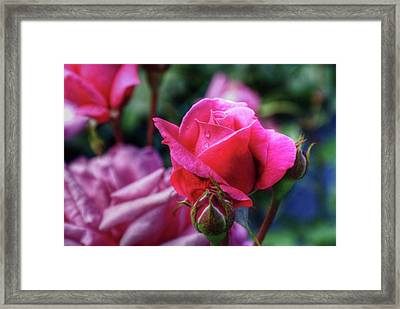 The Rose Framed Print by Matthew Green