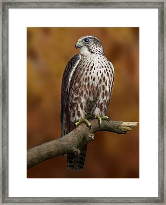 The Saker Falcon Framed Print by Deak Attila