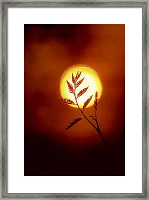 The Silhouette Of A Locust Tree Branch Framed Print