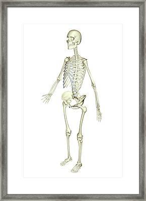 The Skeletal System Framed Print by MedicalRF.com