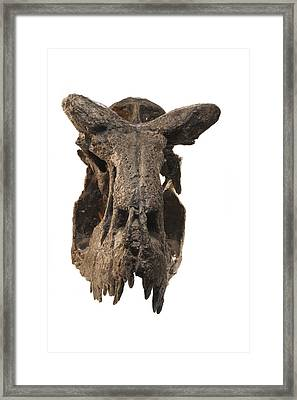 The Skull Of A Carnotaurus Framed Print by Ira Block