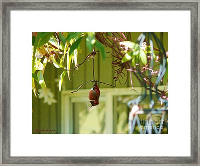 The Sleeping Hummingbird Framed Print by Gail Bridger