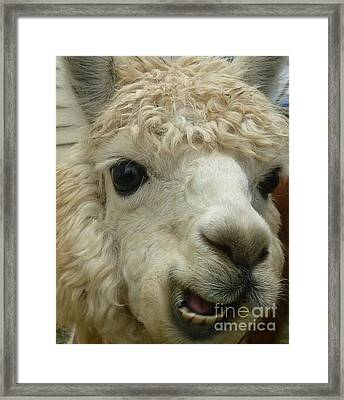 The Smiling Alpaca Framed Print
