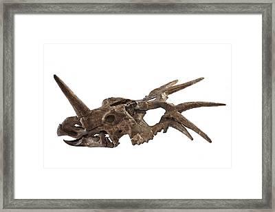 The Spiked Skull Of A Styracosaurus Framed Print by Ira Block