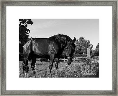 Framed Print featuring the photograph The Stallion by Davandra Cribbie