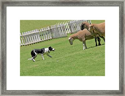 The Stare - Border Collie At Work Framed Print