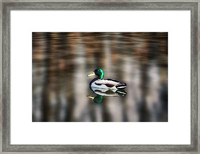 The Swimming Duck Framed Print by Gary Smith