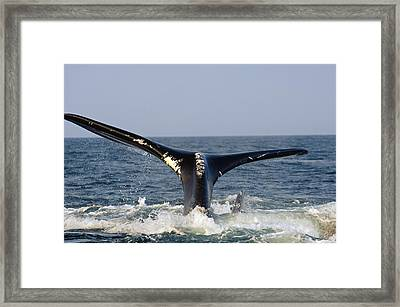 The Tail Of A Right Whale Showing White Framed Print